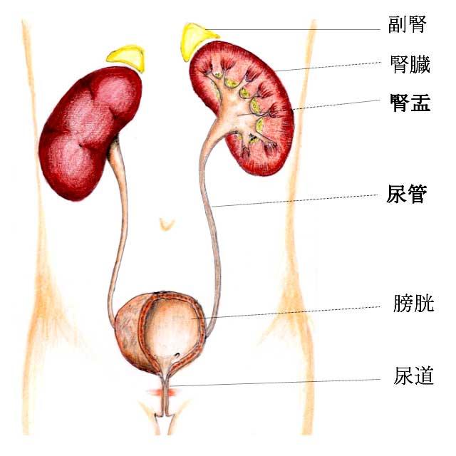 腎盂と尿管図解
