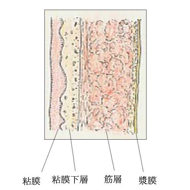 腎盂・尿管の壁(断面)図解